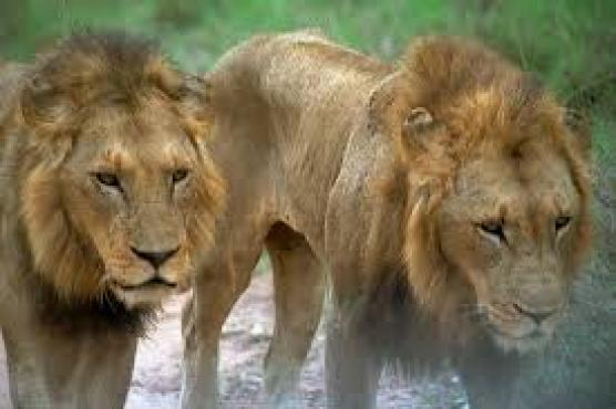 African Lion Dreams Prepare The Way Ministry